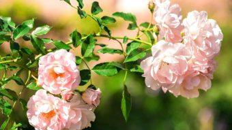 Trụy tim với những mẫu ban công đẹp, ngợp sắc hoa hồng